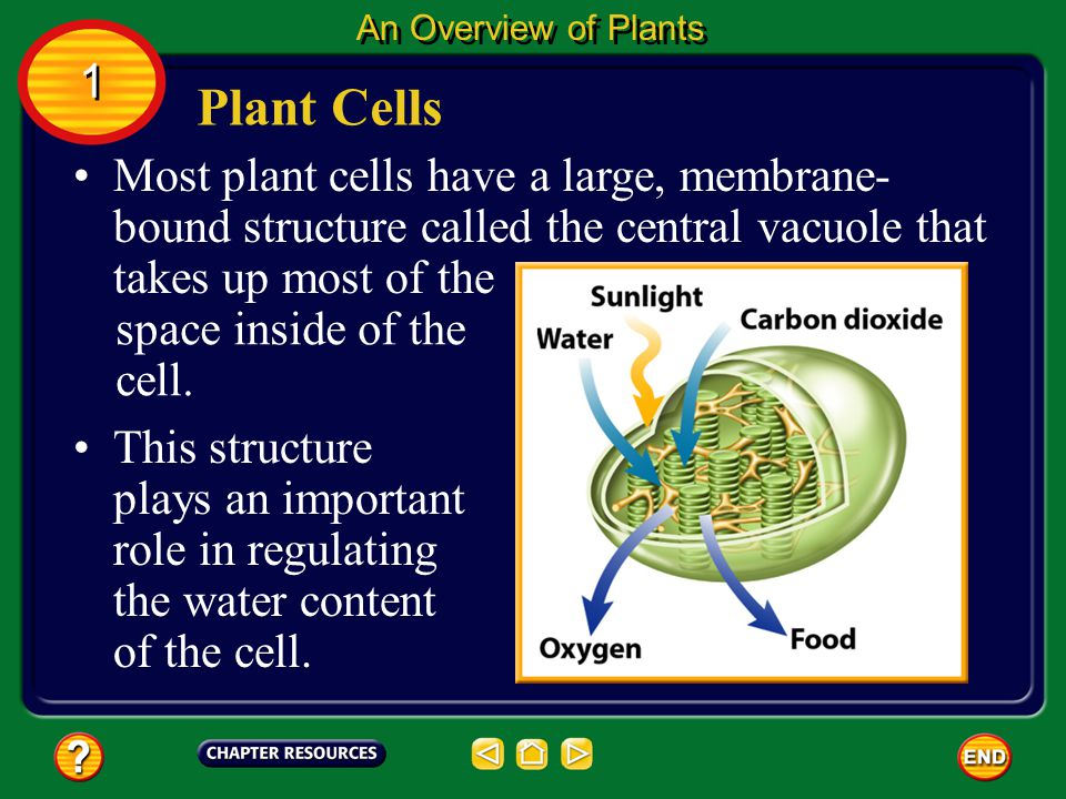 Many plant cells contain the green pigment chlorophyll (KLOR uh fihl) so most plants are green. Chlorophyll is found in a cell structure called a chlo