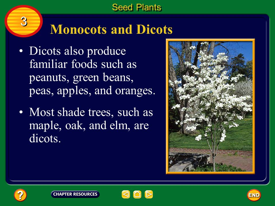 Monocots and Dicots Many important foods come from monocots, including corn, rice, wheat, and barley. Seed Plants 3 3 Lilies and orchids also are mono