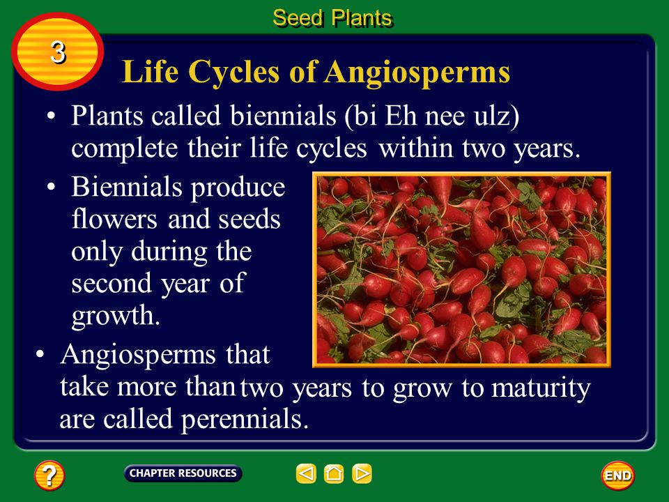 Life Cycles of Angiosperms Some angiosperms grow from seeds to mature plants with their own seeds in less than a month. Seed Plants 3 3 The life cycle