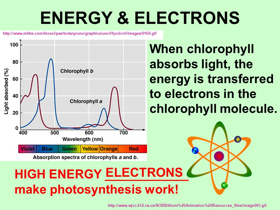 ENERGY & ELECTRONS When chlorophyll absorbs light, the energy is transferred to electrons in the chlorophyll molecule. http://www.mhhe.com/biosci/pae/