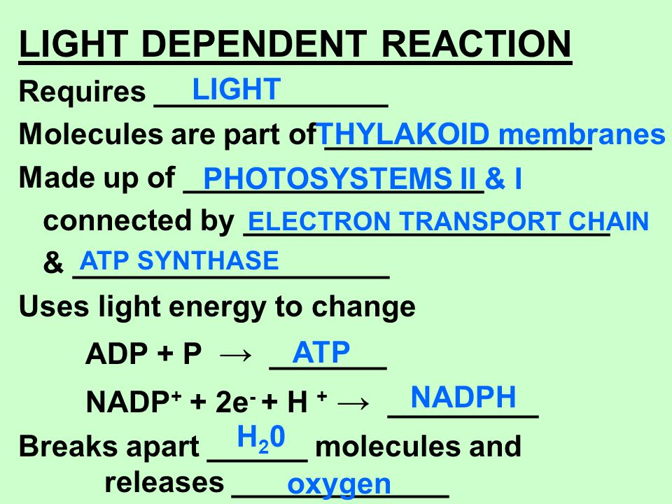 LIGHT DEPENDENT REACTION Requires ______________ Molecules are part of ________________ Made up of __________________ connected by ___________________