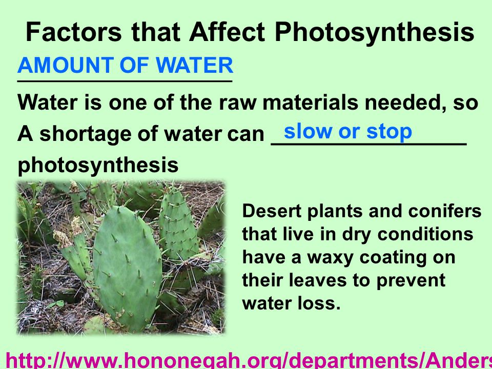Factors that Affect Photosynthesis ____________________ Water is one of the raw materials needed, so A shortage of water can ________________ photosyn