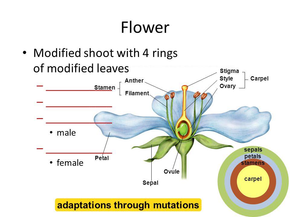 ______ new sporophyte in seed (diploid) __________ ______________ female gametophyte = ovary sac (haploid) male gametophyte = pollen grain (haploid) sperm nuclei travel down pollen tube ______________ ______ double fertilization Angiosperm life cycle