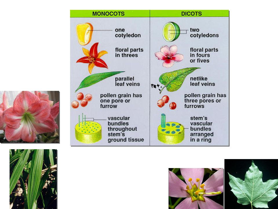 Monocots & dicots Angiosperm are divide into 2 classes – _______________________ _________________________ leaves with network of veins woody plants, trees, shrubs, beans – _______________________ _________________________ leaves with parallel veins grasses, palms, lilies