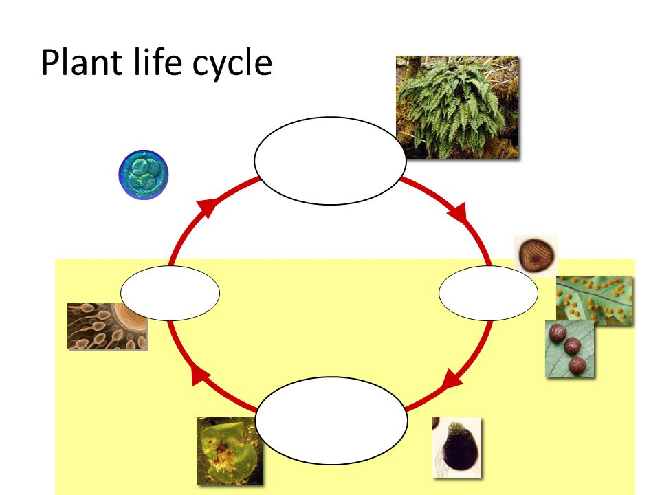 Animal life cycle haploid unicellular gametes 1n diploid multicellular individual 2n