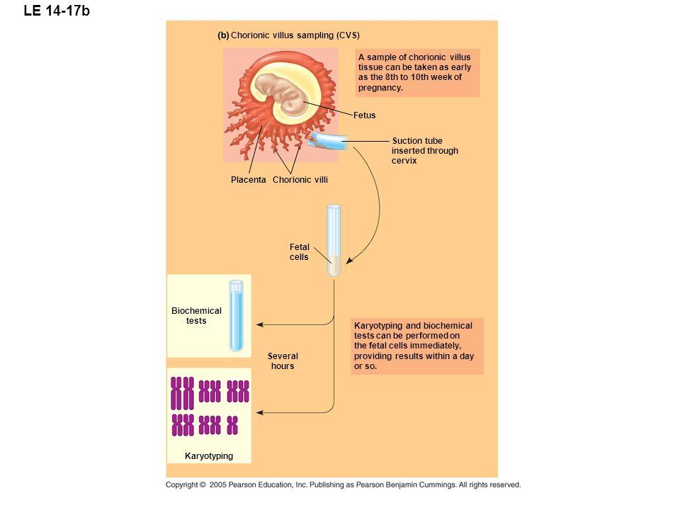 LE 14-17b Chorionic villus sampling (CVS) PlacentaChorionic villi Fetus Suction tube inserted through cervix Fetal cells Biochemical tests Karyotyping
