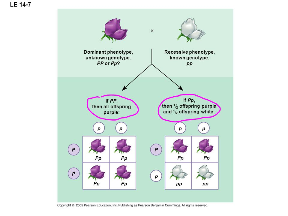 LE 14-7 Dominant phenotype, unknown genotype: PP or Pp? If PP, then all offspring purple: pp P P Pp If Pp, then 1 2 offspring purple and 1 2 offspring
