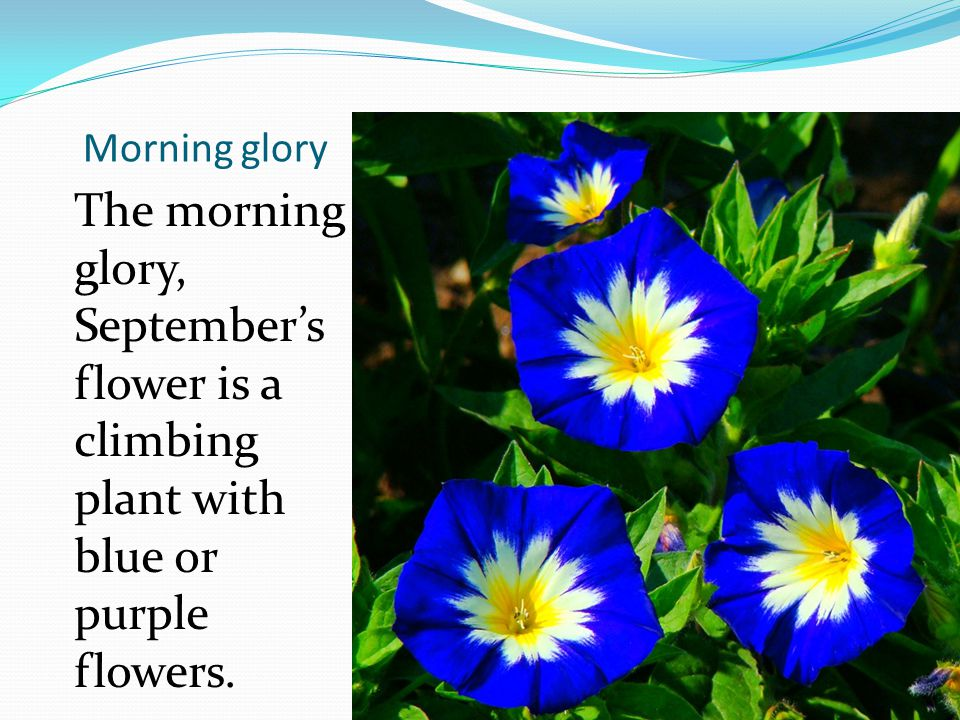 Morning glory The morning glory, Septembers flower is a climbing plant with blue or purple flowers.