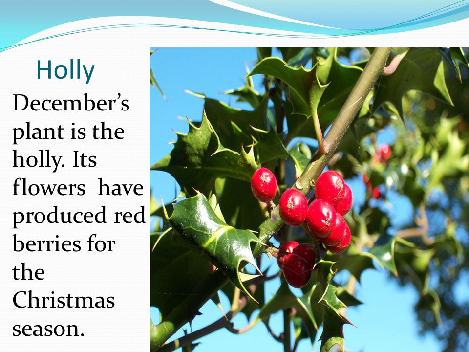 Holly Decembers plant is the holly. Its flowers have produced red berries for the Christmas season.