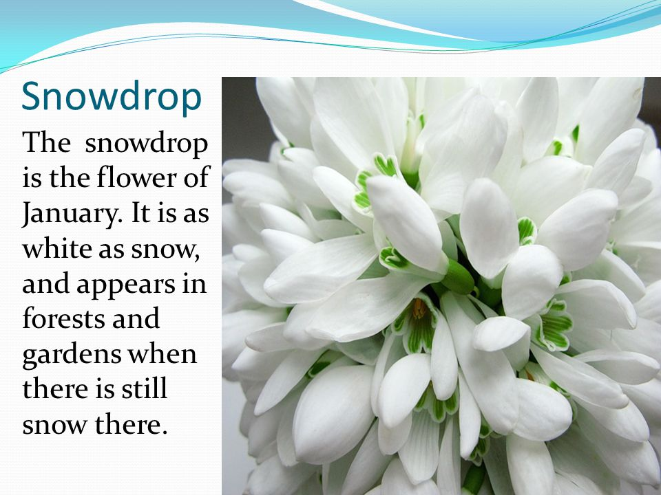 Snowdrop The snowdrop is the flower of January. It is as white as snow, and appears in forests and gardens when there is still snow there.
