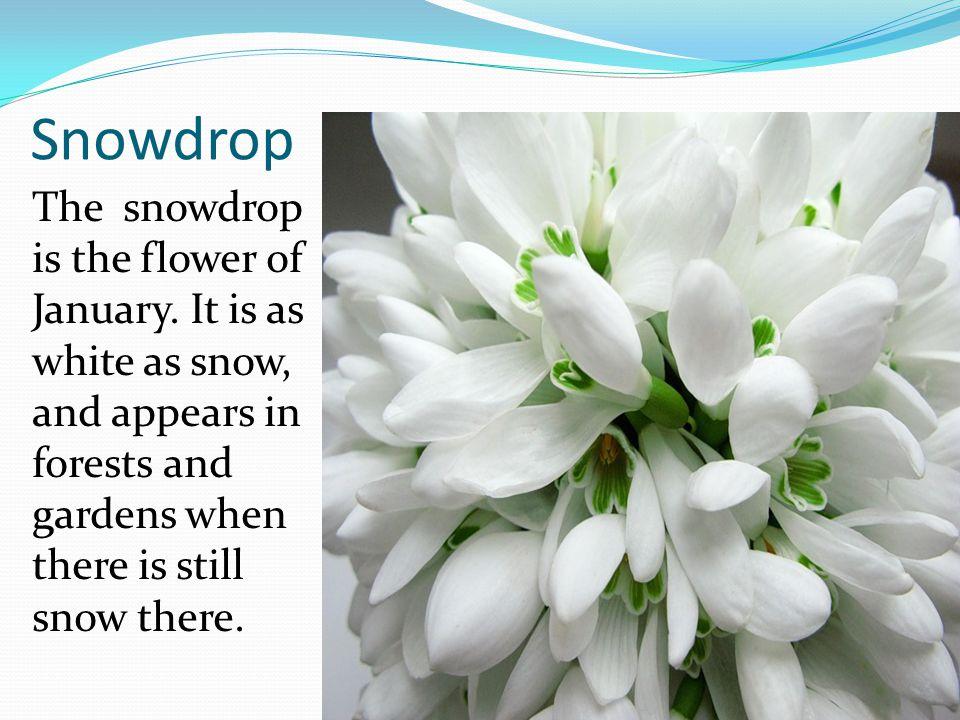 Primrose Februarys flower is the primrose.