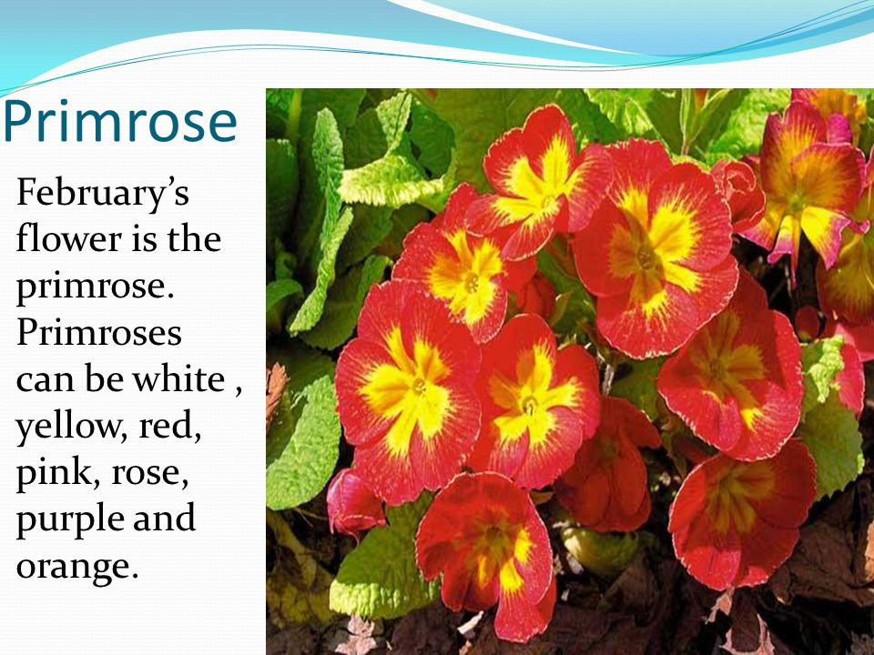 Primrose Februarys flower is the primrose. Primroses can be white, yellow, red, pink, rose, purple and orange.