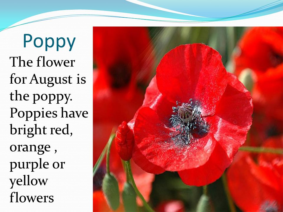 Poppy The flower for August is the poppy. Poppies have bright red, orange, purple or yellow flowers