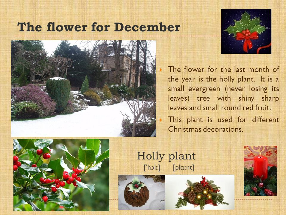 The flower for December The flower for the last month of the year is the holly plant.