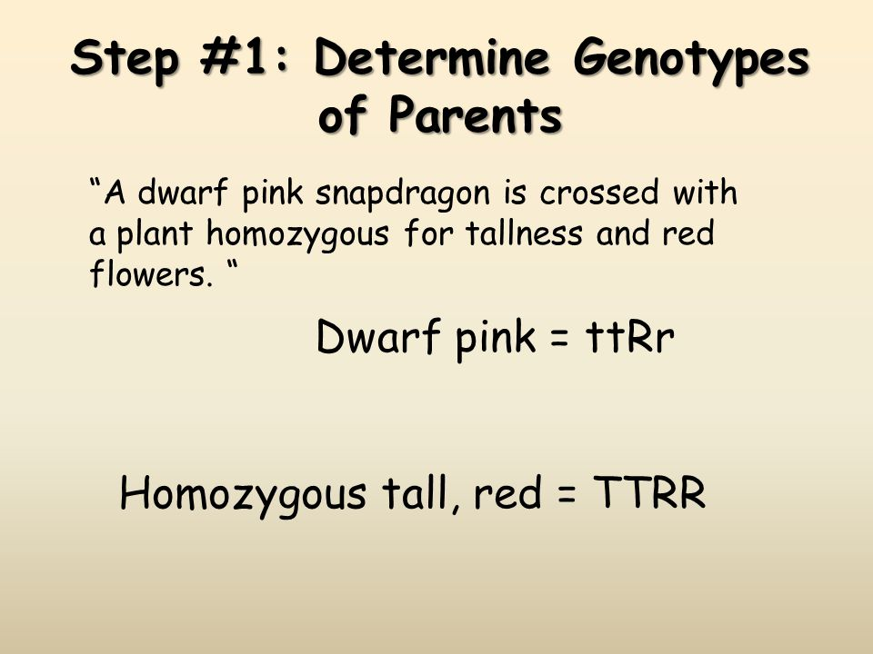 Step #1: Determine Genotypes of Parents A dwarf pink snapdragon is crossed with a plant homozygous for tallness and red flowers. Dwarf pink = ttRr Hom