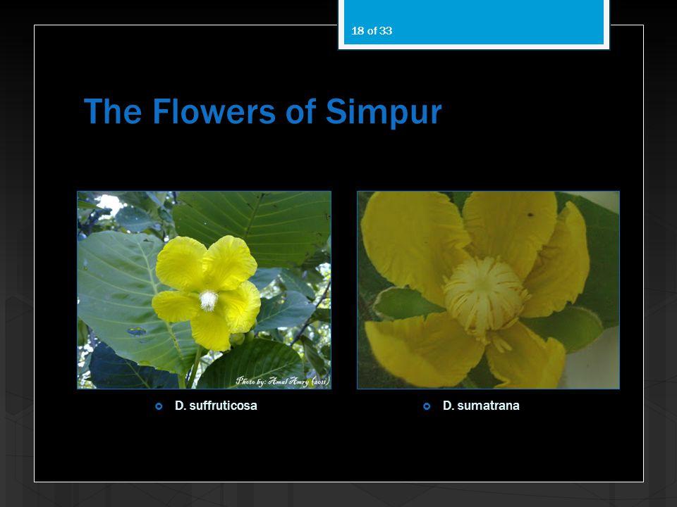 The Flowers of Simpur 18 of 33 D. suffruticosa D. sumatrana