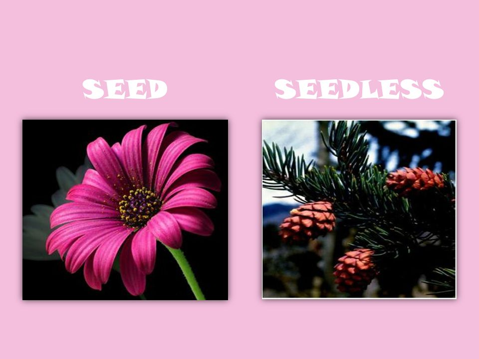 SEEDSEEDLESS