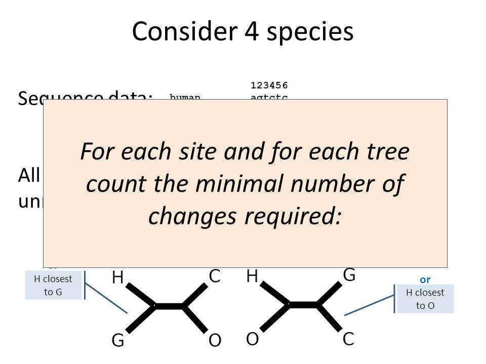 Consider 4 species All possible unrooted trees: H closest to C Sequence data: H closest to G or H closest to O or For each site and for each tree count the minimal number of changes required: