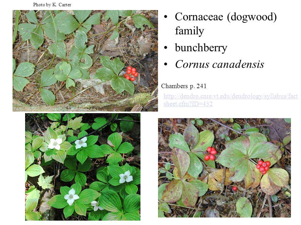 Cornaceae (dogwood) family bunchberry Cornus canadensis Photo by K.