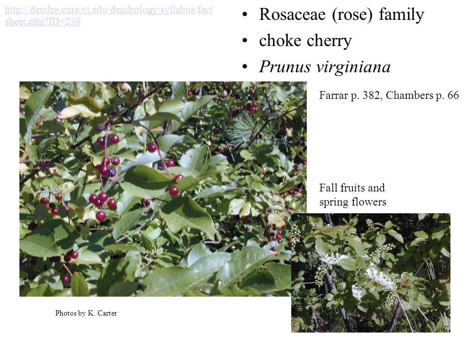 Rosaceae (rose) family choke cherry Prunus virginiana Photos by K.