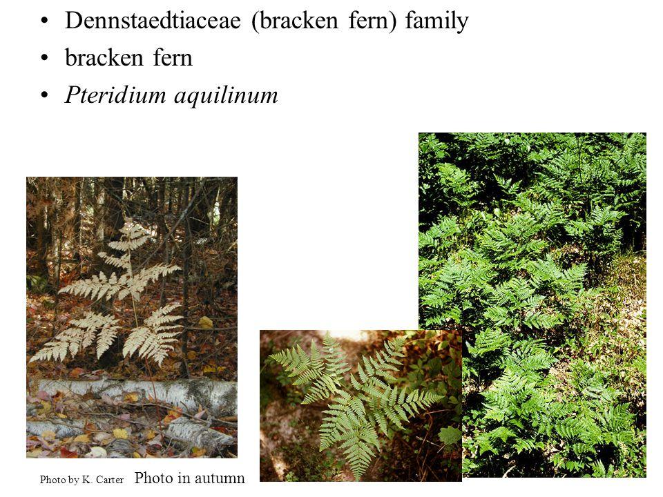 Dennstaedtiaceae (bracken fern) family bracken fern Pteridium aquilinum Photo by K.