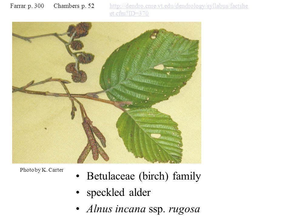 Betulaceae (birch) family speckled alder Alnus incana ssp.
