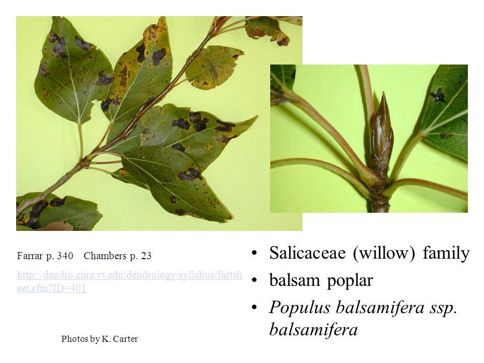 Salicaceae (willow) family balsam poplar Populus balsamifera ssp.