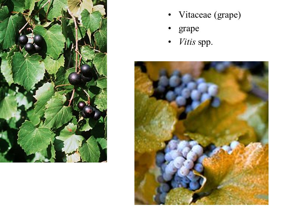 Vitaceae (grape) grape Vitis spp.