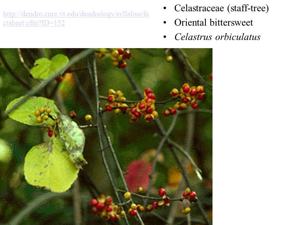 Celastraceae (staff-tree) Oriental bittersweet Celastrus orbiculatus http://dendro.cnre.vt.edu/dendrology/syllabus/fa ctsheet.cfm?ID=152