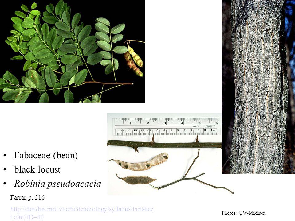 Fabaceae (bean) black locust Robinia pseudoacacia Photos: UW-Madison Farrar p. 216 http://dendro.cnre.vt.edu/dendrology/syllabus/factshee t.cfm?ID=40