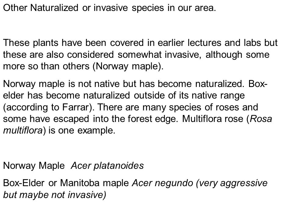 Other Naturalized or invasive species in our area. These plants have been covered in earlier lectures and labs but these are also considered somewhat