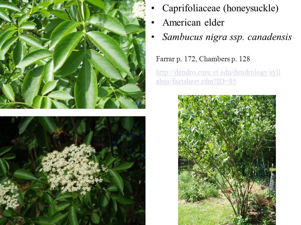 Caprifoliaceae (honeysuckle) American elder Sambucus nigra ssp. canadensis Farrar p. 172, Chambers p. 128 http://dendro.cnre.vt.edu/dendrology/syll ab