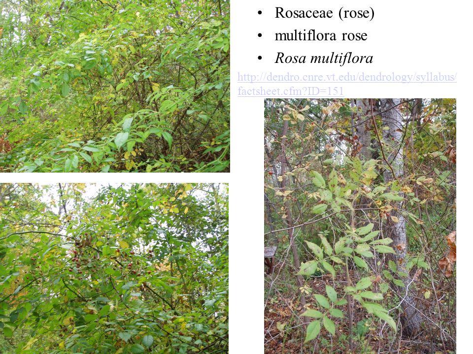Rosaceae (rose) multiflora rose Rosa multiflora http://dendro.cnre.vt.edu/dendrology/syllabus/ factsheet.cfm?ID=151