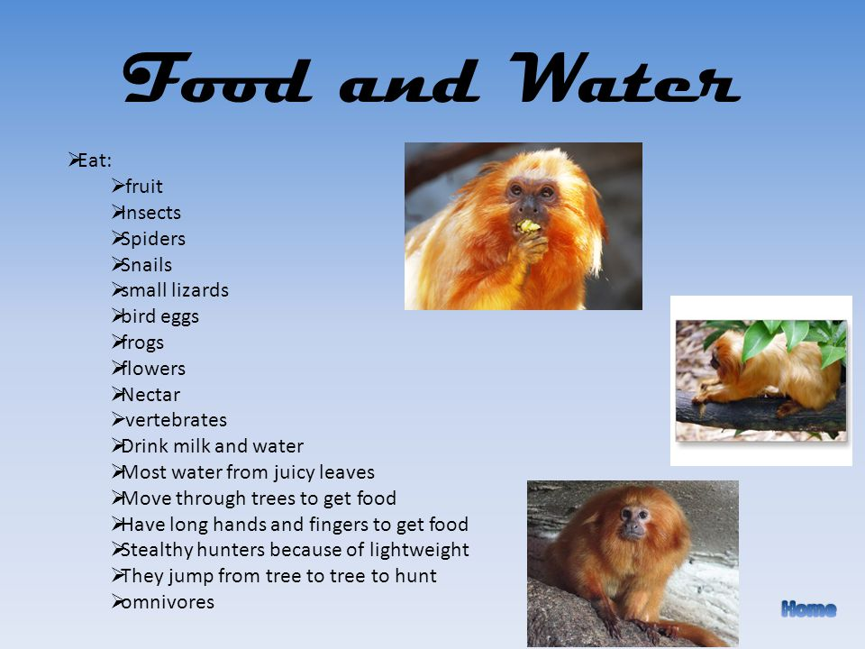 Food and Water Eat: fruit Insects Spiders Snails small lizards bird eggs frogs flowers Nectar vertebrates Drink milk and water Most water from juicy leaves Move through trees to get food Have long hands and fingers to get food Stealthy hunters because of lightweight They jump from tree to tree to hunt omnivores