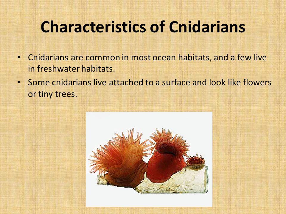 Characteristics of Cnidarians Cnidarians are common in most ocean habitats, and a few live in freshwater habitats. Some cnidarians live attached to a