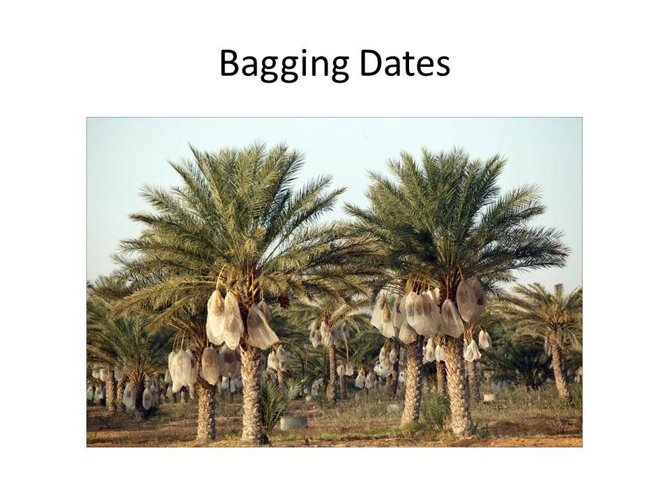 Bagging Dates