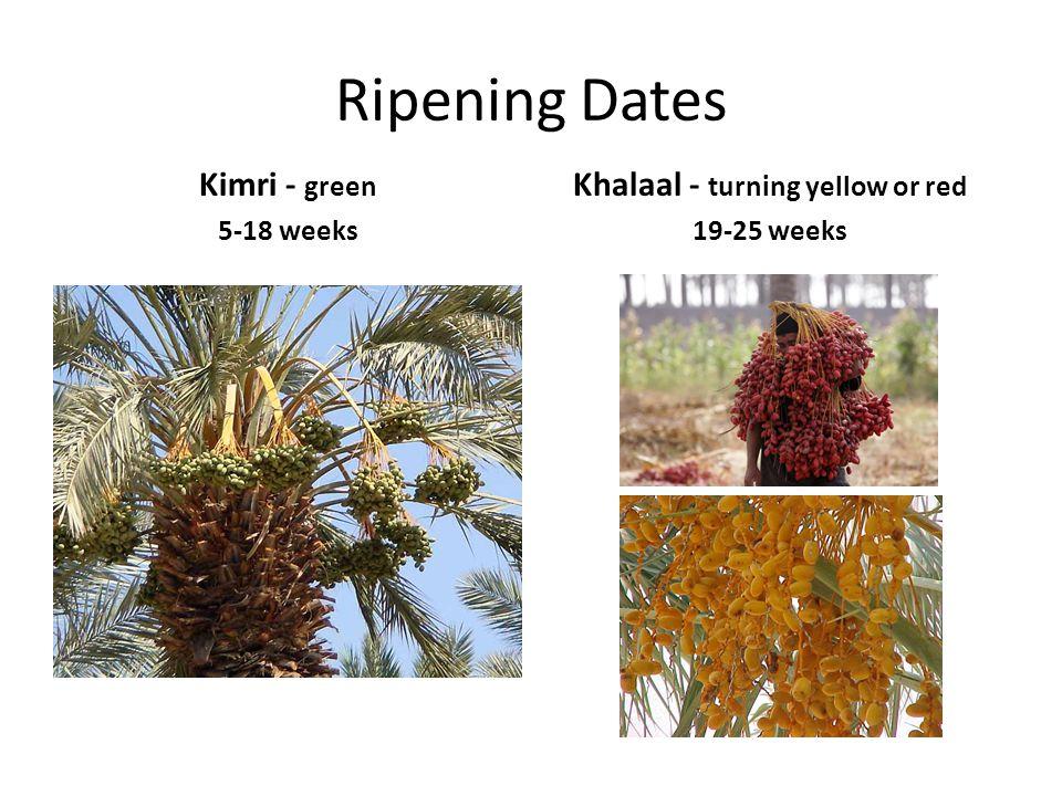 Ripening Dates Kimri - green 5-18 weeks Khalaal - turning yellow or red 19-25 weeks