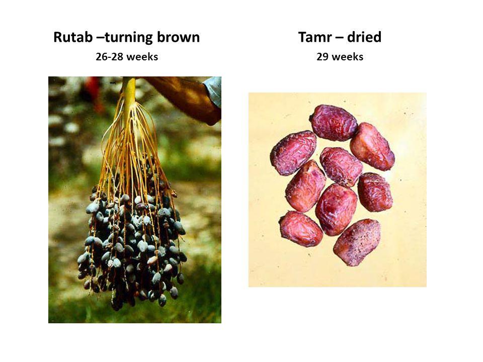 Rutab –turning brown 26-28 weeks Tamr – dried 29 weeks