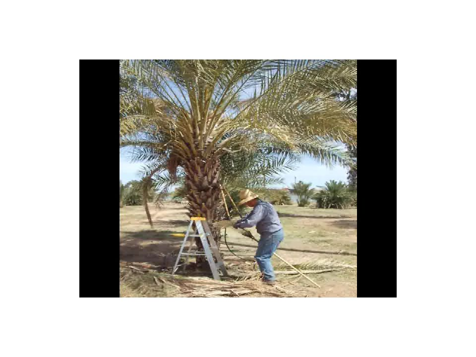 Date Palm Maintenance 1.Clean out well, pull weeds & tree seedlings.