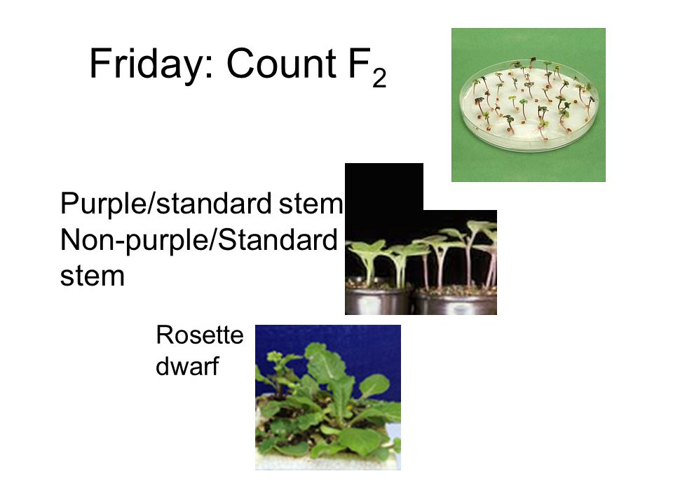 Friday: Count F 2 Rosette dwarf Purple/standard stem Non-purple/Standard stem