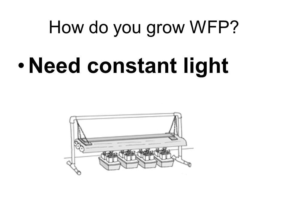 How do you grow WFP? Need constant light