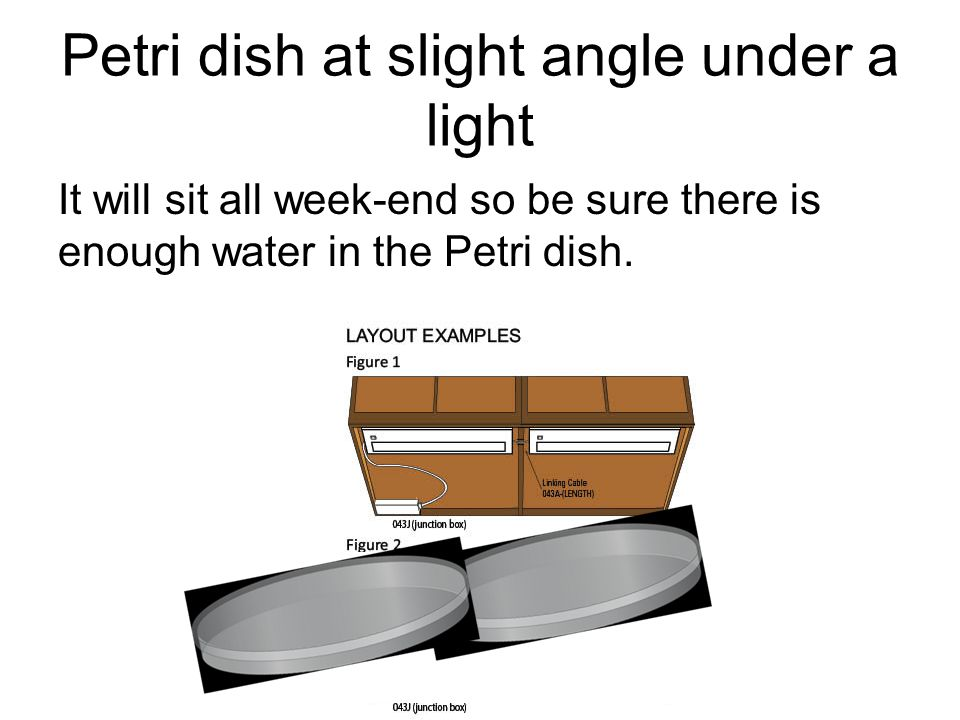 Petri dish at slight angle under a light It will sit all week-end so be sure there is enough water in the Petri dish.