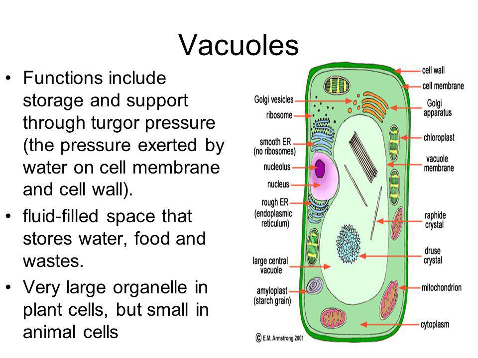 Vacuoles Functions include storage and support through turgor pressure (the pressure exerted by water on cell membrane and cell wall).