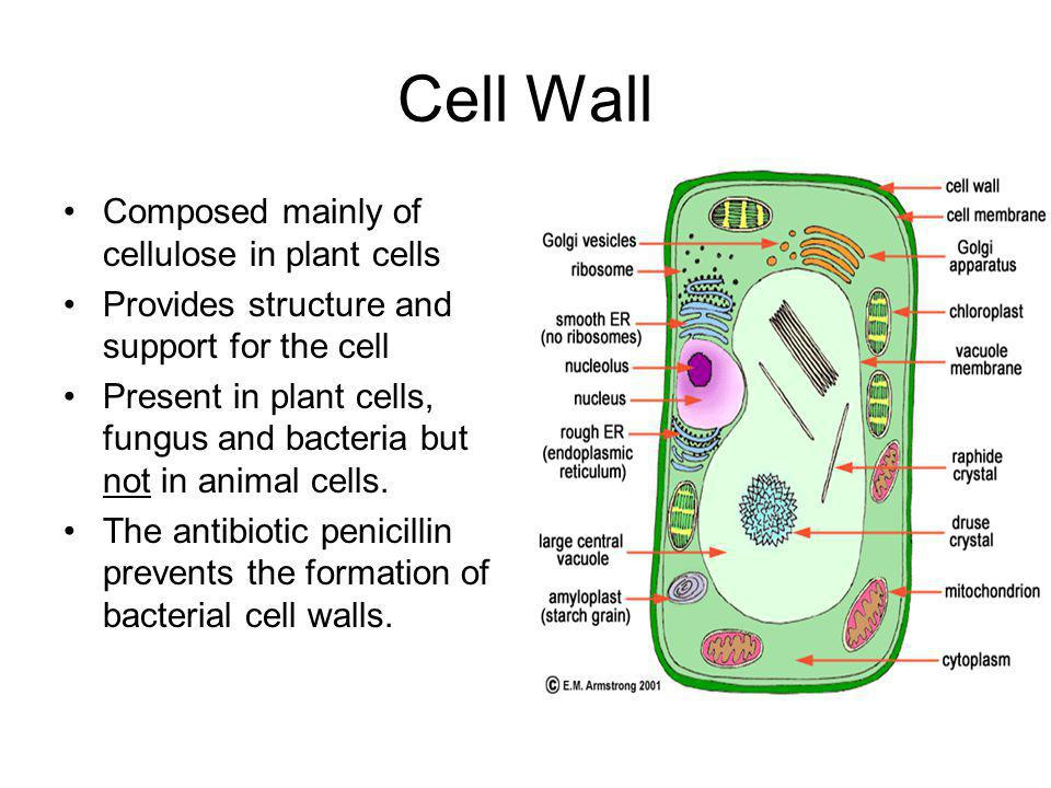 Cell Wall Composed mainly of cellulose in plant cells Provides structure and support for the cell Present in plant cells, fungus and bacteria but not