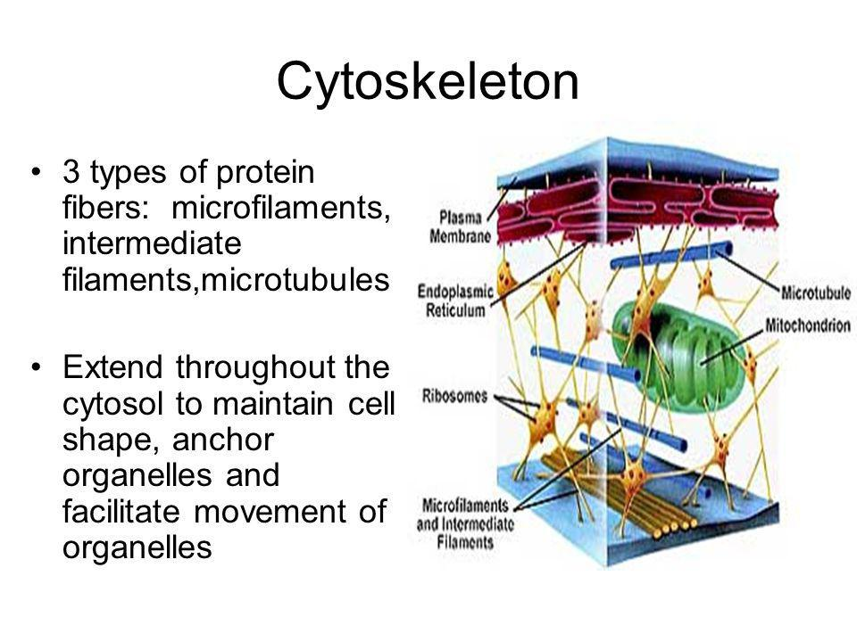 Cytoskeleton 3 types of protein fibers: microfilaments, intermediate filaments,microtubules Extend throughout the cytosol to maintain cell shape, anch
