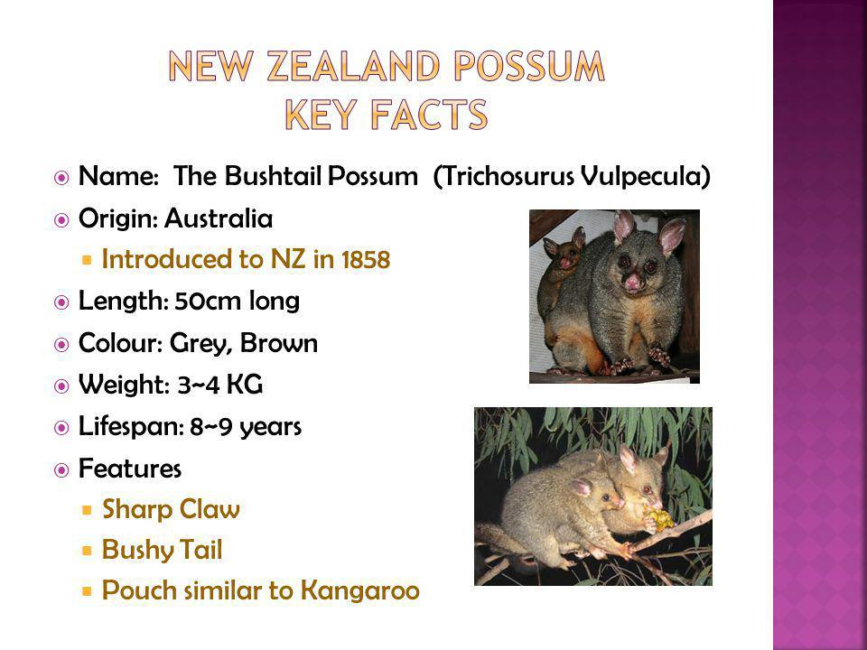 Name: The Bushtail Possum (Trichosurus Vulpecula) Origin: Australia Introduced to NZ in 1858 Length: 50cm long Colour: Grey, Brown Weight: 3~4 KG Lifespan: 8~9 years Features Sharp Claw Bushy Tail Pouch similar to Kangaroo