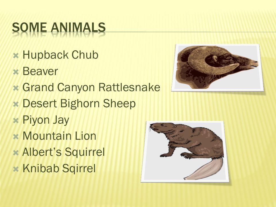 Hupback Chub Beaver Grand Canyon Rattlesnake Desert Bighorn Sheep Piyon Jay Mountain Lion Alberts Squirrel Knibab Sqirrel