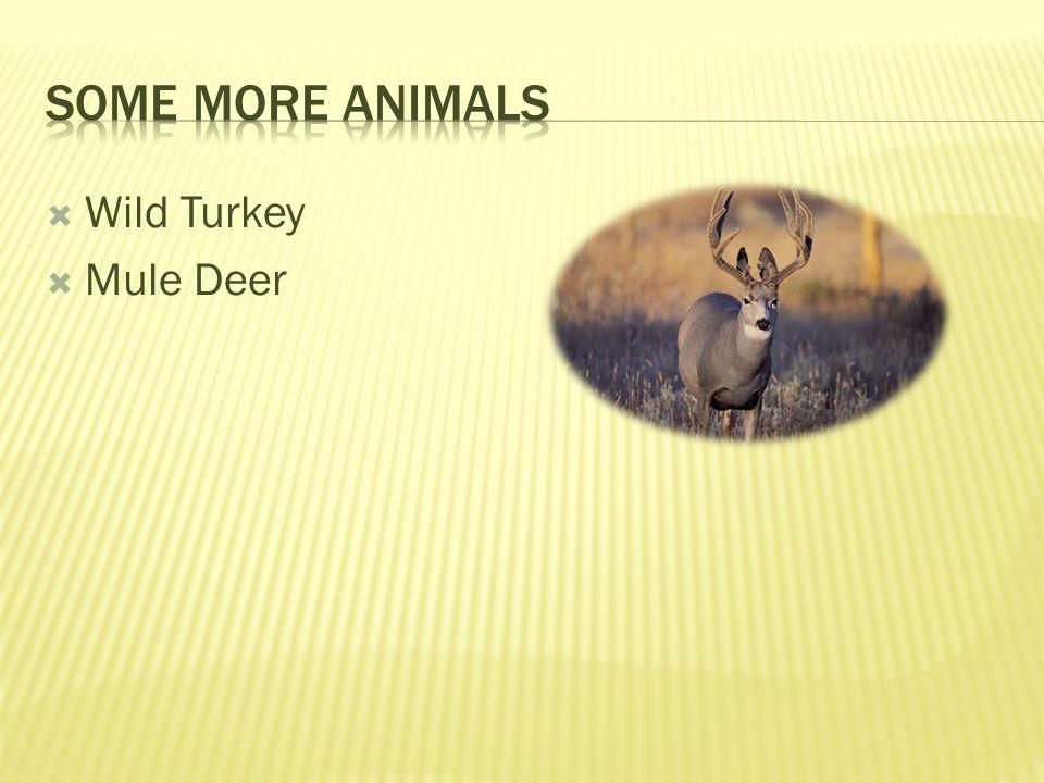 Wild Turkey Mule Deer