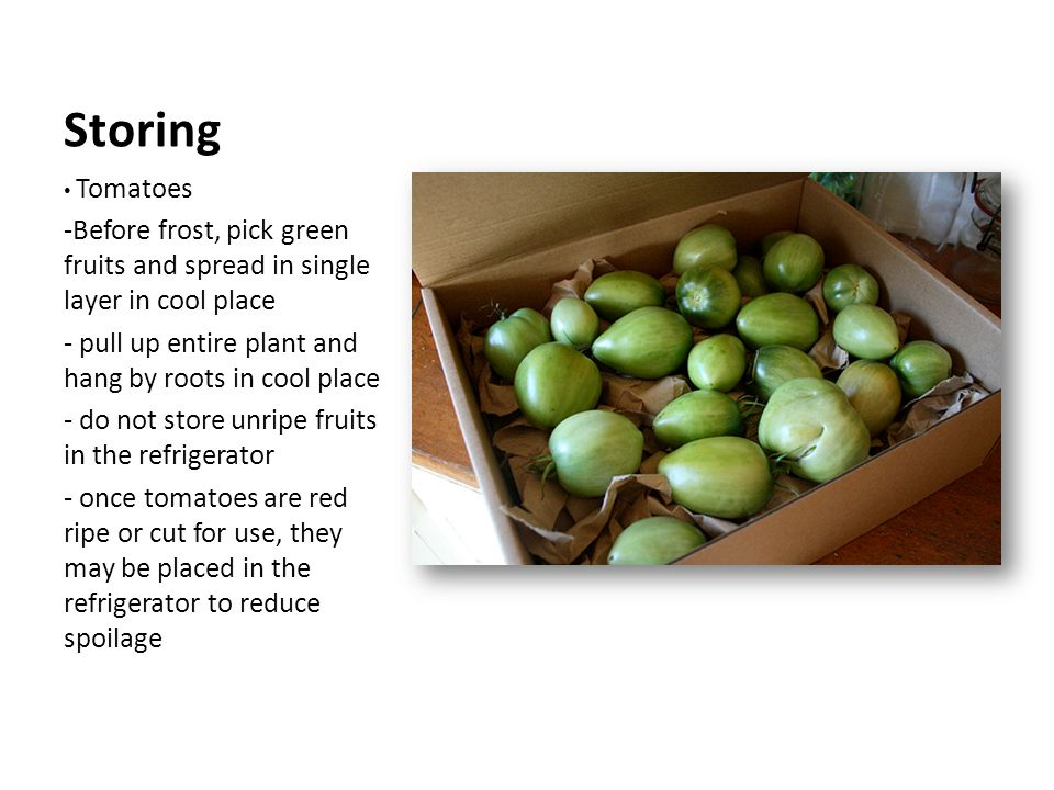 Storing Tomatoes -Before frost, pick green fruits and spread in single layer in cool place - pull up entire plant and hang by roots in cool place - do not store unripe fruits in the refrigerator - once tomatoes are red ripe or cut for use, they may be placed in the refrigerator to reduce spoilage