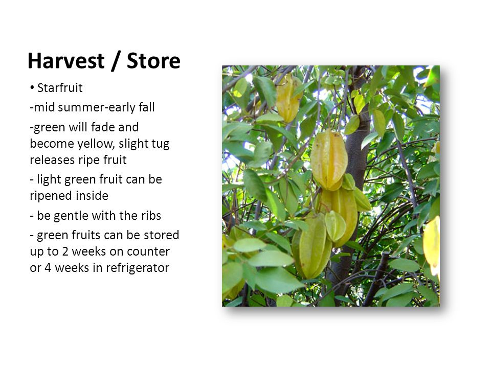 Starfruit -mid summer-early fall -green will fade and become yellow, slight tug releases ripe fruit - light green fruit can be ripened inside - be gentle with the ribs - green fruits can be stored up to 2 weeks on counter or 4 weeks in refrigerator Harvest / Store